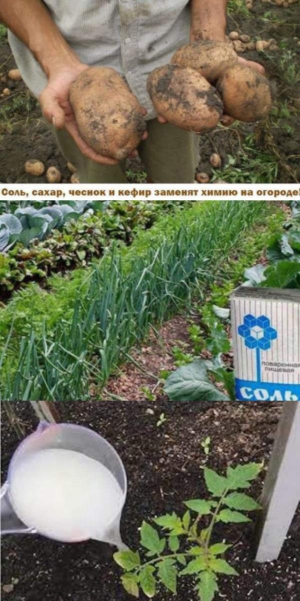 Cоль, сахар, чеснок и кефир заменят химию на огороде!